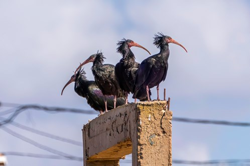 The Northern Bald Ibis, Souss Massa National Park, Morocco