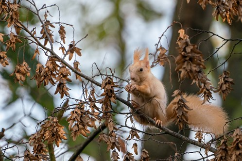 White-Red Squirrel on Petrin Hill, Prague in Autumn